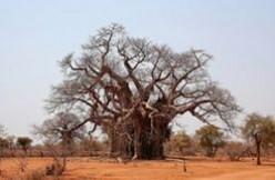 The Baobab Tree of Zimbabwe
