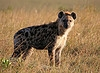 The Silly Hyena