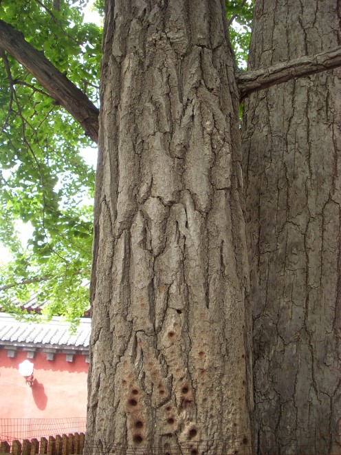 1000 year old tree.  the brown spots are from monks centuries ago, who used tree for Kung Fu training to strengthen their fingers.
