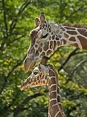 Female giraffe with baby
