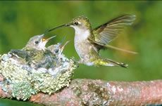 Hummingbird at Nest