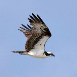 10 New England Birds of Prey