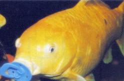 Goldie The Goldfish Is No Sucker