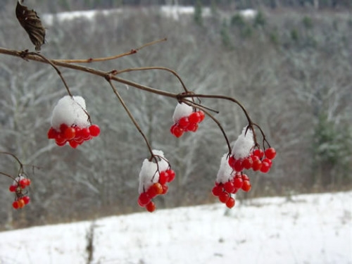 HIghbush Cranberries with Snow