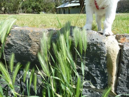 green barley dog photo