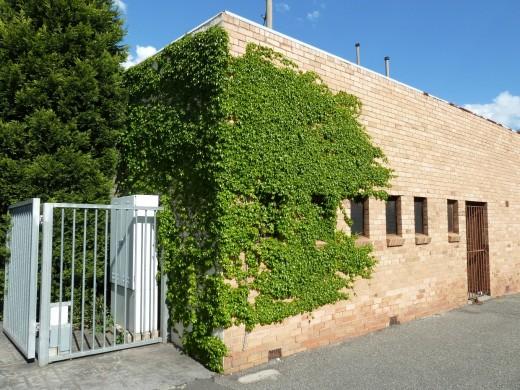 Green vine on brick corner wall