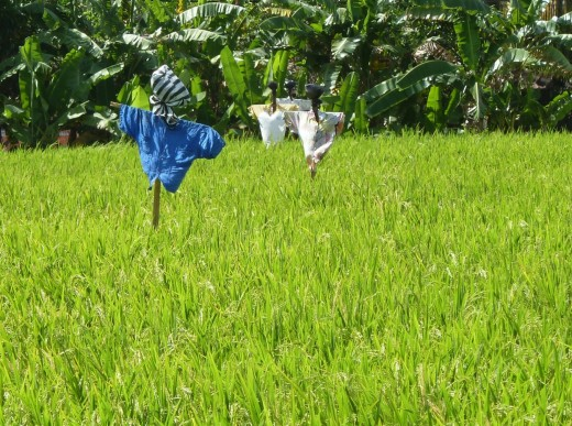 photo Bali green rice paddy field blue scarecrow