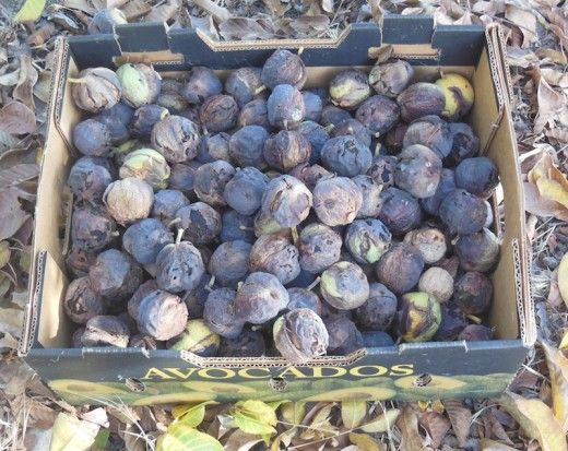 Harvested walnuts ready to process