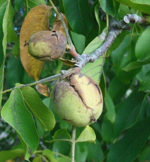 Walnuts on the tree.