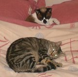 Tiggy on the bed and Smudge in it in Cindy's house
