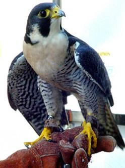 Peregrine Falcon (photo by Peregrine Monet)