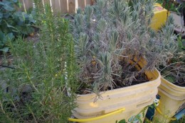 Yes, they're ugly, and no they're not tomatoes. You're looking at, from left: Rosemary, Lavender, and Oregano.  These plants have lived happily in these ugly buckets for almost 2 years