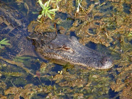 State Reptile: American Alligator -  Louisiana has the highest alligator population in the United States! (Photo by Jon Sullivan at PDPhoto.com)