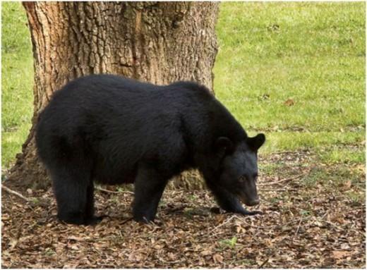 State Mammal: Louisiana Black Bear- Threatened species (Photo courtesy of USFWS)