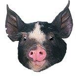 Berkshire boar © RubyLane