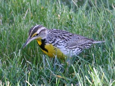Kansas State Bird: Western Meadowlark (Photo by Will Elder, NPS)