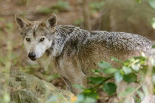 Garner Rix probably encountered gray wolves but saw them as a threat to his livestock. - Used under Creative Commons