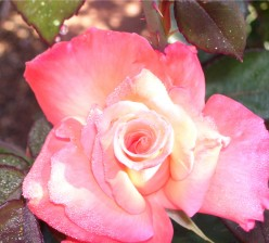 Roses, like mothers, may be fragile beings, but their fragrance lasts forever