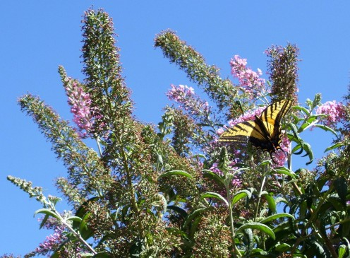 May blue skies and butterflies bless your day. Mother's butterfly bush - and Arizona blue sky.