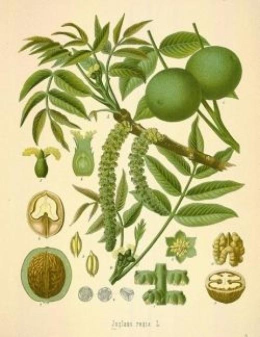 Walnut tree and fruits