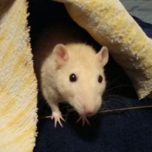 Creating a Pet Rat Play Area