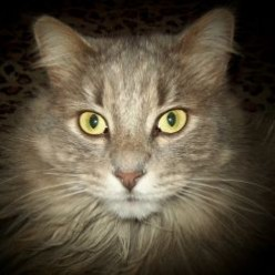 Mr. Kitty Wompuss, tale of a Maine Coon in Minnesota