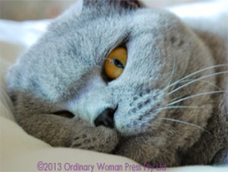 Life with a British Shorthair Cat | HubPages
