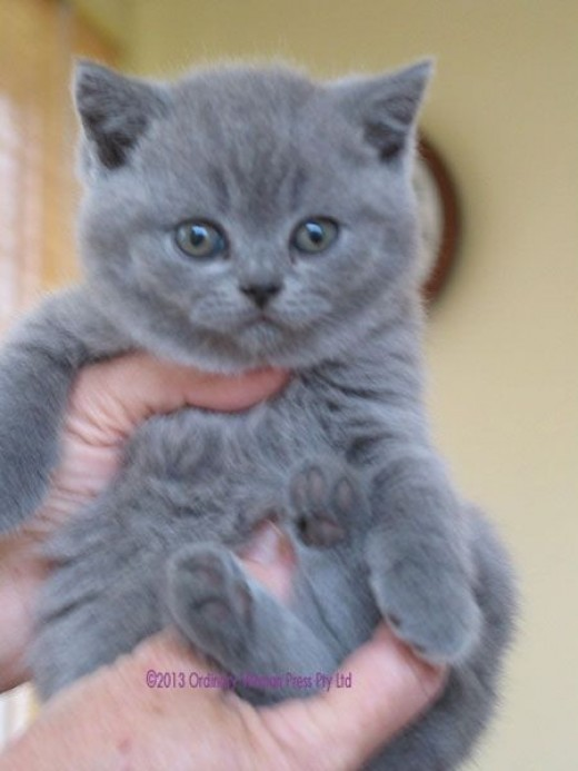 British Shorthair Kitt...