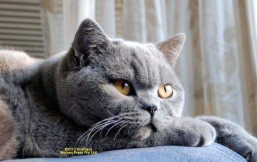 cat, kitten, cats, kittens, british shorthair cat, british shorthair cats, british cat, british blue, british shorthair kitten, blue british, british shorthair kittens, lolcats, cheezburger, i can has cheezburger