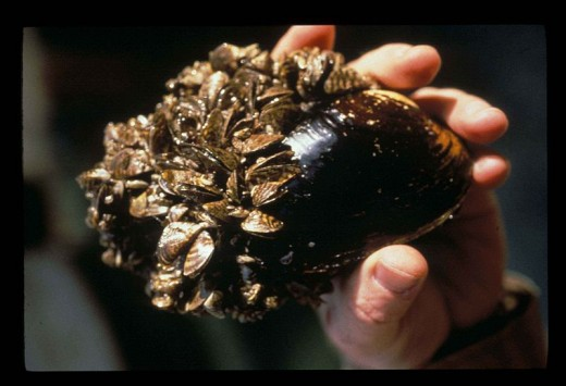 Zebra Mussels- Out-competes native species aggressively.
