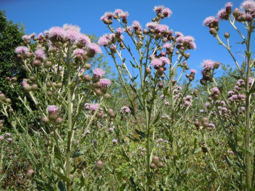 Canada Thistle- Overcrowds and out-competes native plant flora