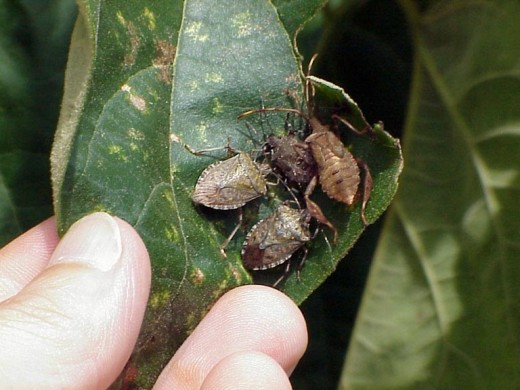 Brown Marmorated Stink Bug- House pest and agricultural destruction