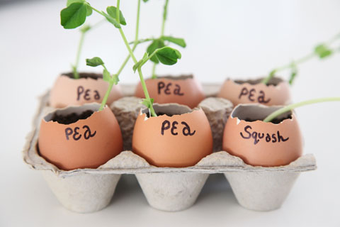 Grow seedlings in eggshells