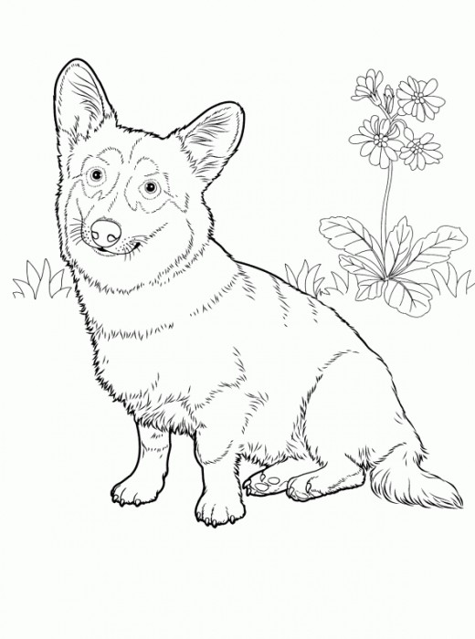 welsh corgi coloring page