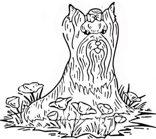 Line Drawing Of Yorkshire Terrier : Yorkshire terrier line drawing sketch coloring page