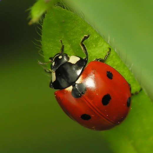 #40 You Need to Be Happy About Ladybugs because They Are  So Darn Cute