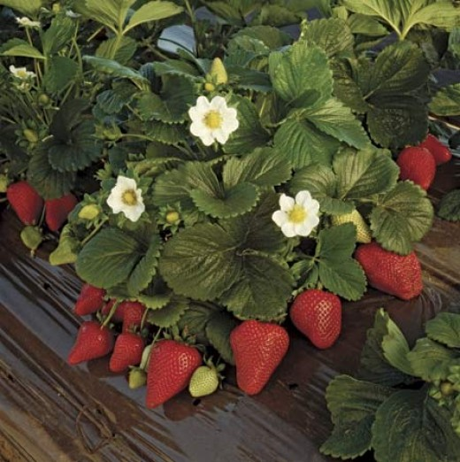 #74 Strawberry Season & Going to the Strawberry Patch to Pick them