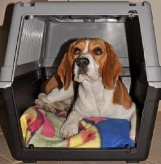 beagle_dog_travel_cage