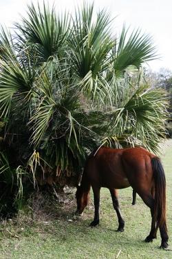 Cumberland Island Horse in Coastal Georgia