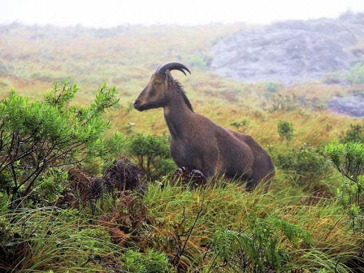 Nilgiri Tahrs are found in Eravikulam National Park near Moonnar in Kerala , South India