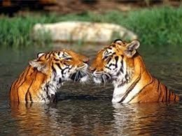 Tigers from (forbes.com)
