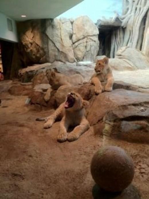 Lion cubs at rest