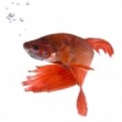 bettafishbreeding profile image