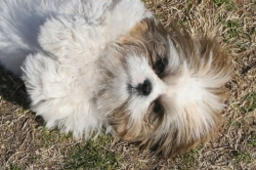 Lhasa Apso dogs roll around when they're happy and content
