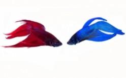 Betta Breeding - Breed And Sell Betta Fish For Profit
