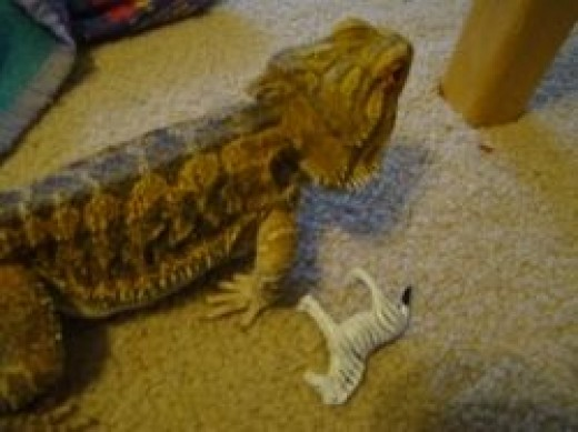 notice how the Bearded Dragons leg is draggin backwards, a healthy dragons foot would be in front supporting him