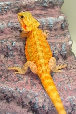 Orange Translucent Male Available For Sale