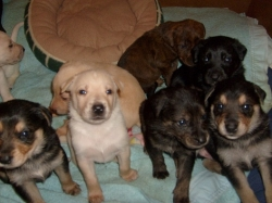 Free Classified Ad Pups