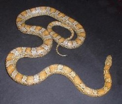 Corn Snakes: Care, Breeding, and Living With Them