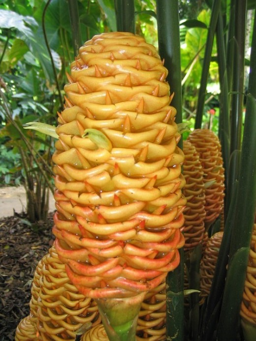 Beautiful Orange ginger Flowers